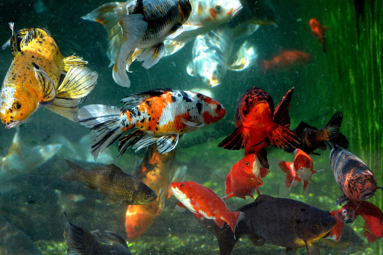 Poissons en aquarium
